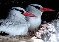 Red-billed Tropicbirds, Tower Island, Galapagos