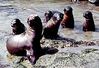 Sea Lion pups at Punta Suarez, Hood Island, Galapagos