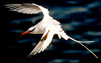 Red-billed Tropicbird, South Plaza Island, Galapagos